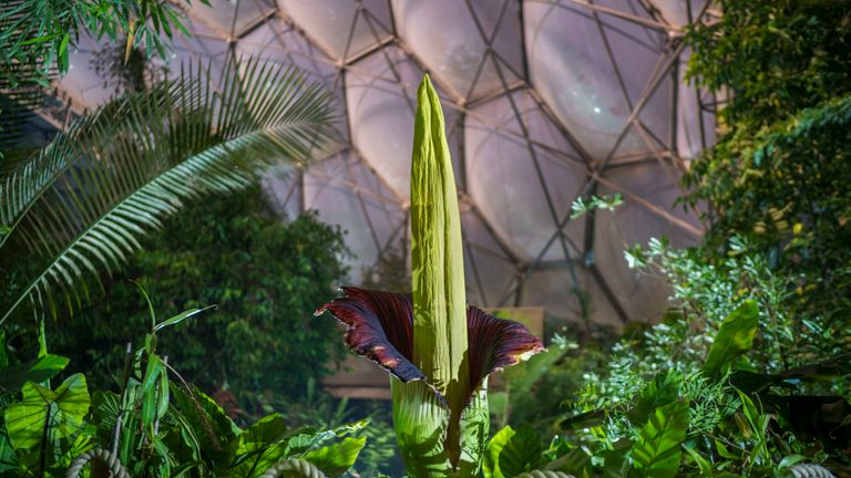 The titan, known as the corpse flower, stands at well over 6ft tall