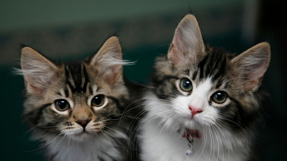 The RSPCA say several cats have been shot in Magull, Merseyside. File pic