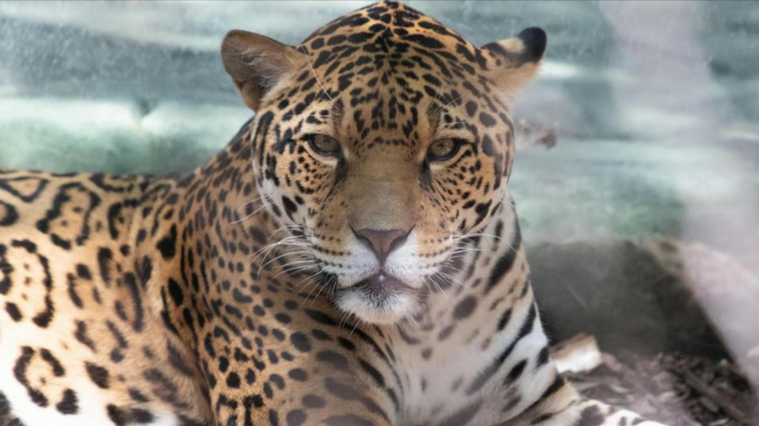 Jaguar escapes from zoo, goes on animal killing spree