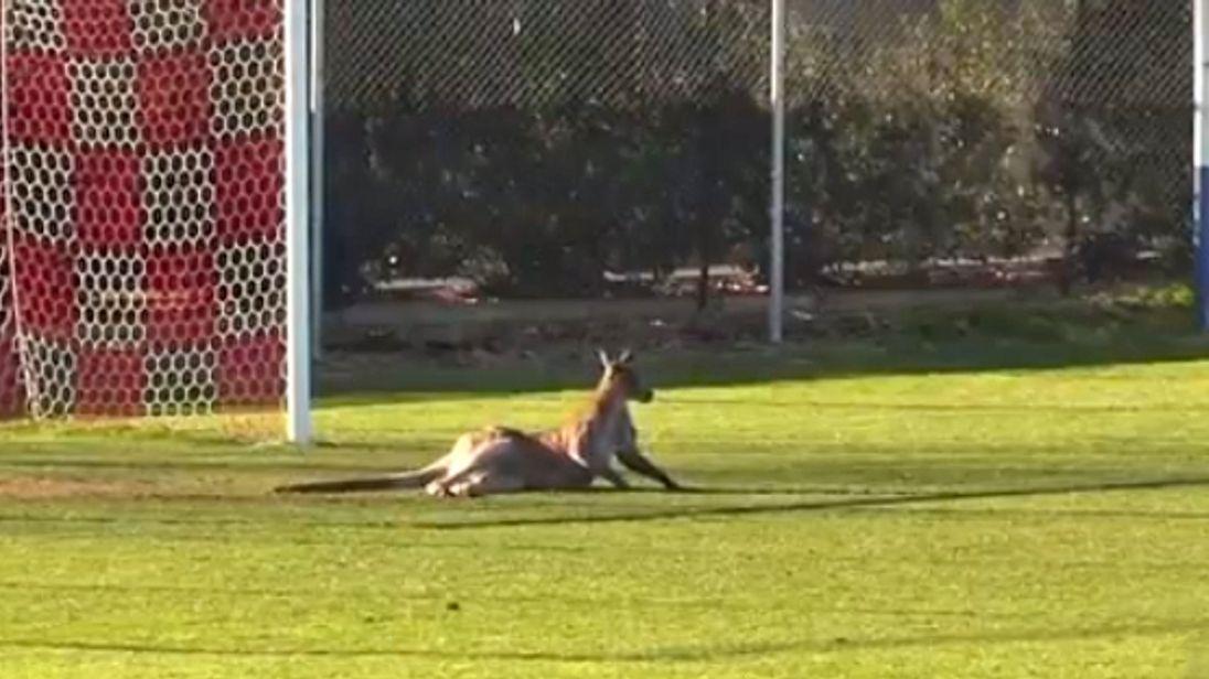 Kangaroo in Canberra. Pic: CNN