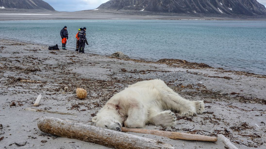 Polar bear shot dead after wounding ship worker