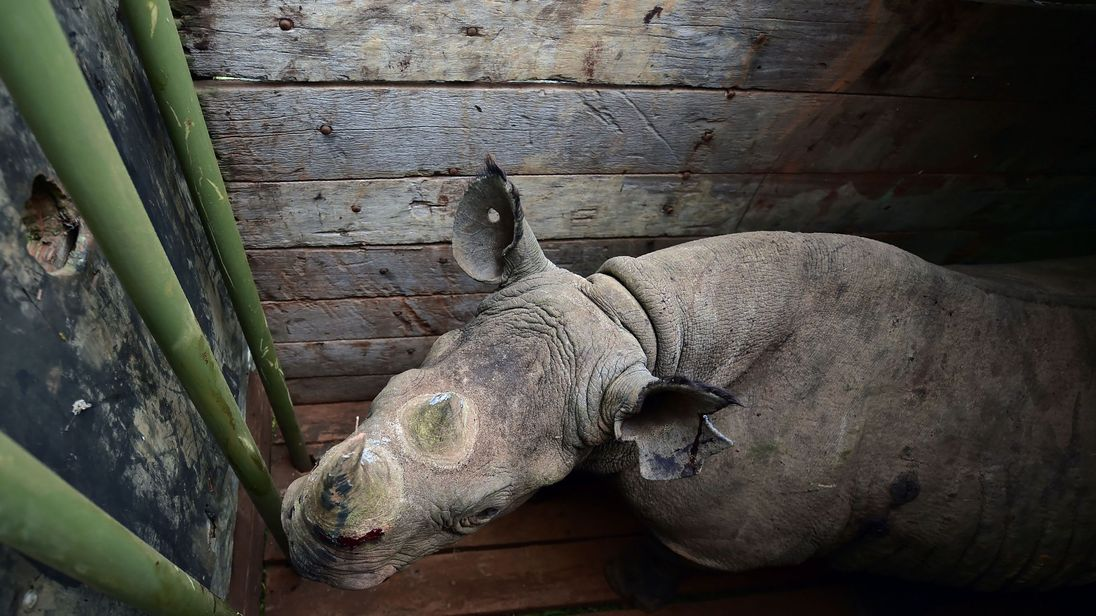 A female black rhino is prepared for translocation