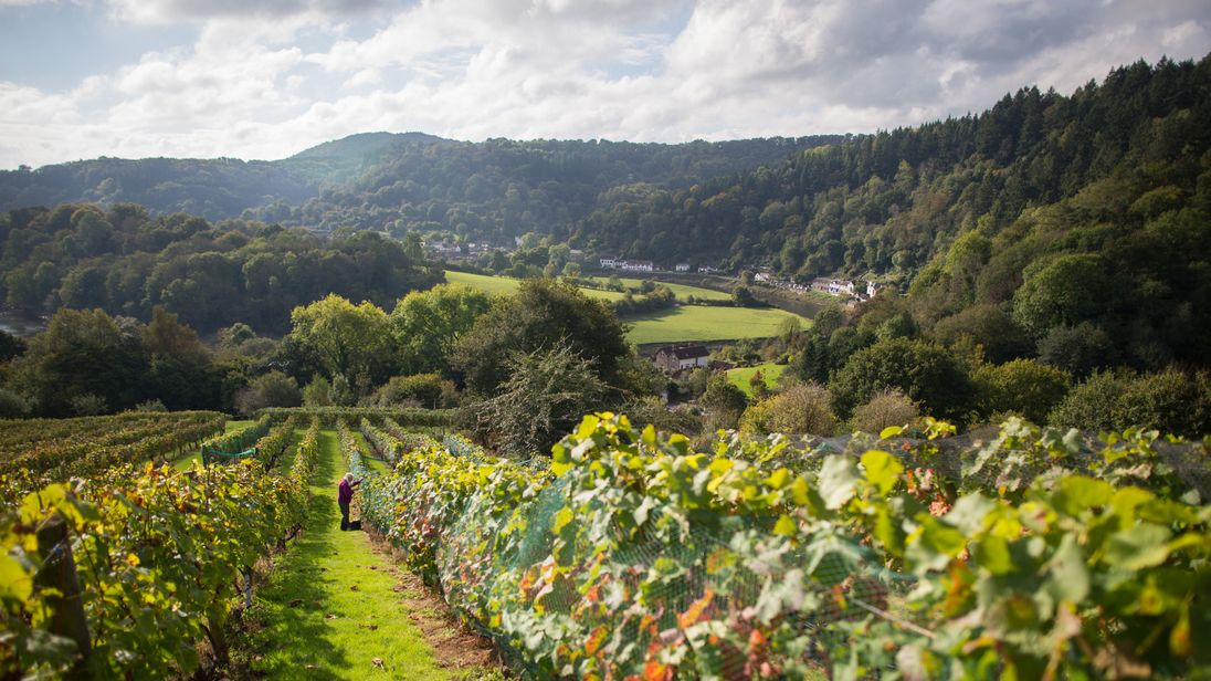 British wine could enjoy a vintage year, say some experts
