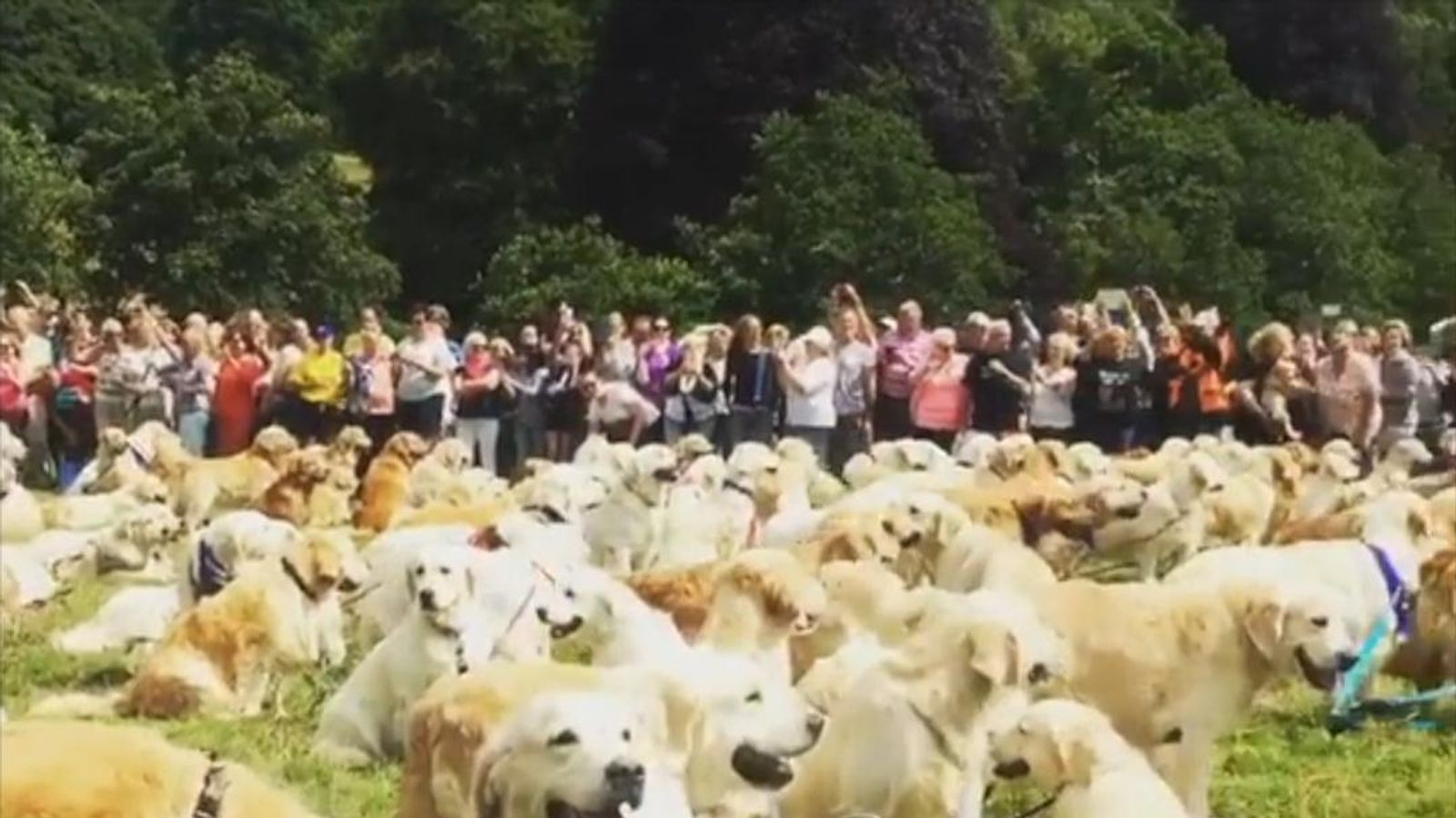 300 Golden Retrievers Mark 150th Birthday Sky News