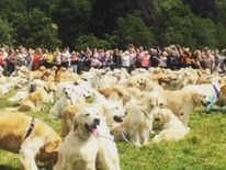 Golden retrievers celebrate 150th birthday