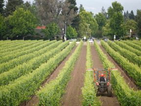 TO GO WITH AFP STORY by Michael Thurston, Lifestyle-US-China-wine A tractor trims grapevines in a vineyard at Hill Family Estate on June 4, 2012 in California's Napa Valley. The global downturn hit Doug Hill's family-run Napa Valley winery hard. But the third-generation California farmer's hopes for recovery are strong -- fueled by heady growth in China. AFP Photo/Kimihiro Hoshino (Photo credit should read KIMIHIRO HOSHINO/AFP/GettyImages)