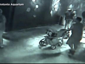 One of the alleged thieves begins to push the shark away in a buggy. Pic: San Antonio Aquarium