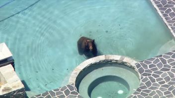 The bear was eventually trapped by animal control officials