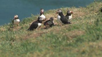 The birds are thriving on Skomer Island