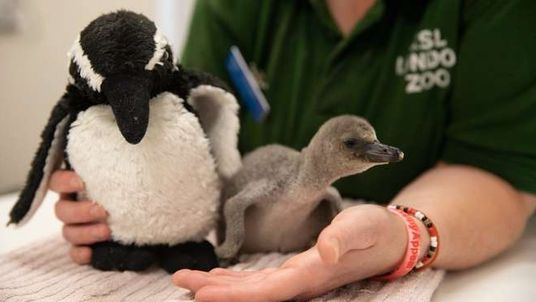 Rainbow was saved by zoo keepers after she was hatched prematurely. Pic: ZSL London Zoo