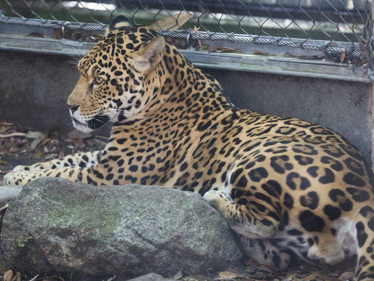 The jaguar was three-year-old Valerio