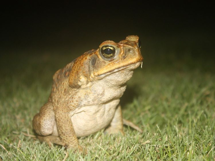 A cane toad. Cane toads (Rhinella marina) at the leading edge of their range expansion in Australia are more cut off from other individuals. Males from these peripheral populations display stronger social attraction than do toads from …mor