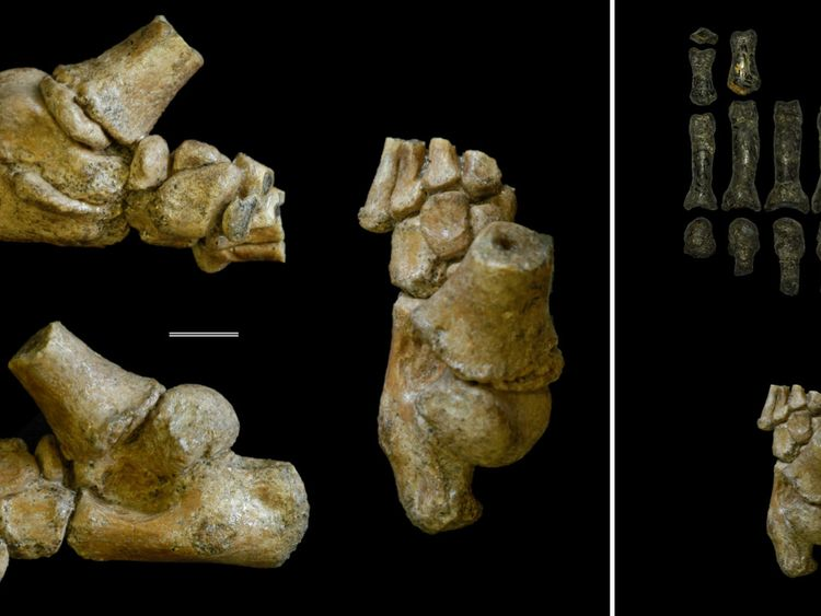 Foot fossil of juvenile hominin exhibits ape-like features