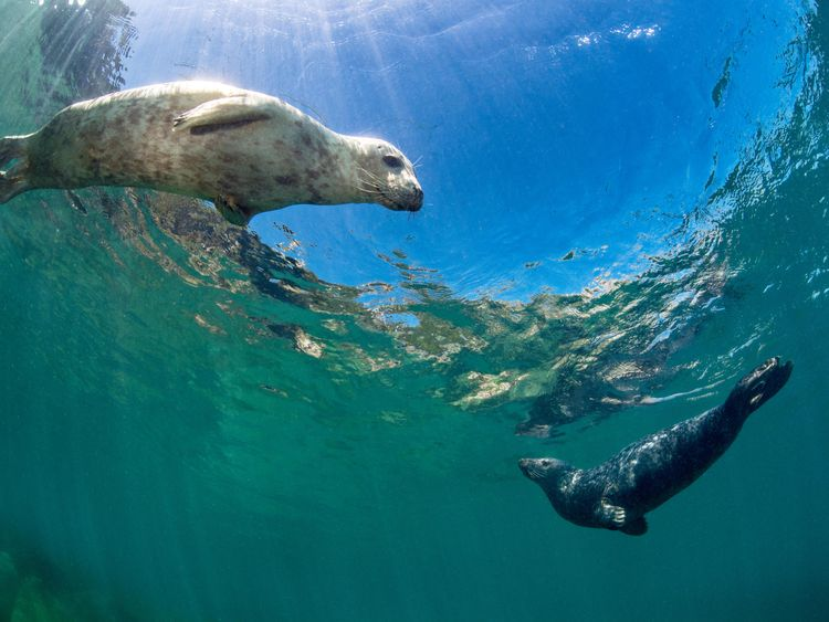 A young female and young male grey seal swimming in the shallows at Lundy Island