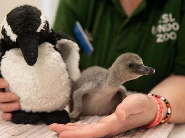 Preemie penguin chick saved by zookeepers