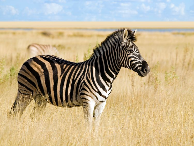 This confirmed zebra has clearer stripes and a darker mouth and nose area than the one in Cairo.