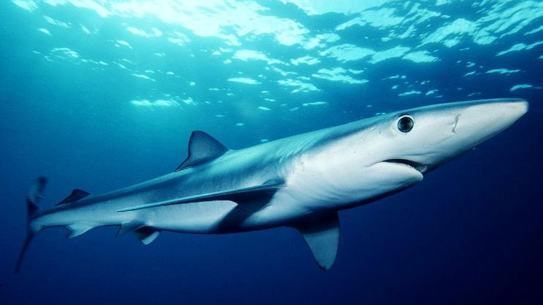Blue sharks prefer deep waters in the world's temperate and tropical oceans. File pic