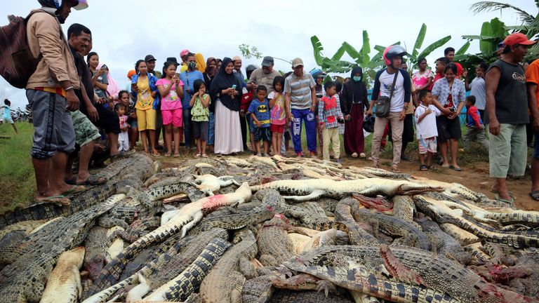 Almost 300 crocodiles were killed by angry locals following the death of a man