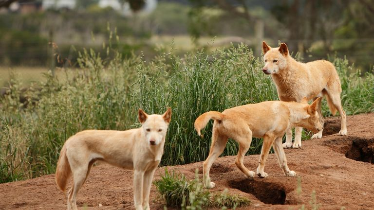 Dingoes, native to Australia, rarely attack humans