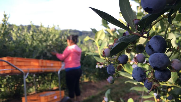 Just 0.6% of the 85,000 workers who harvest the UK's crops are British
