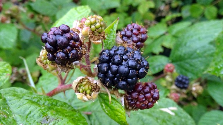 Brambles in Devon in July