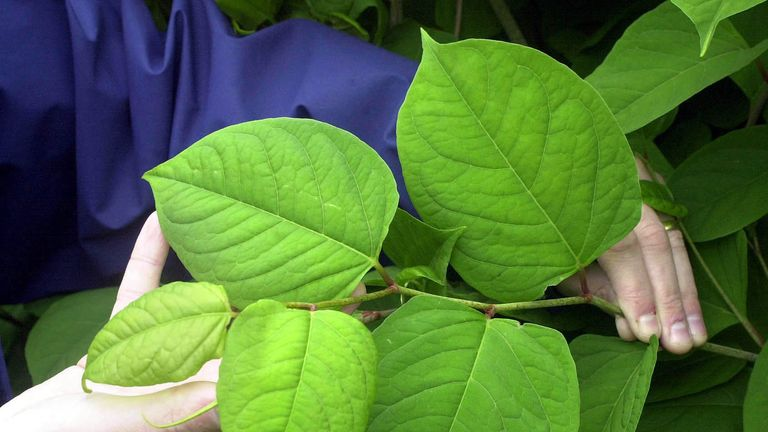 The Japanese knotweed spreads quickly and is expensive to treat