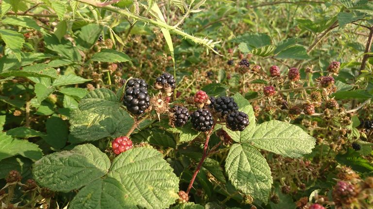 Brambles spotted in London in July