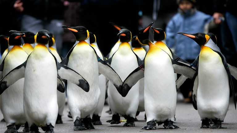 The king penguin is the second-largest species of penguin
