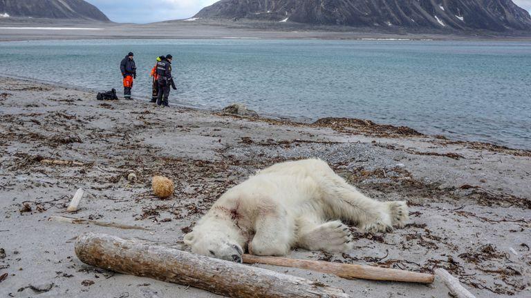 The polar bear was shot dead