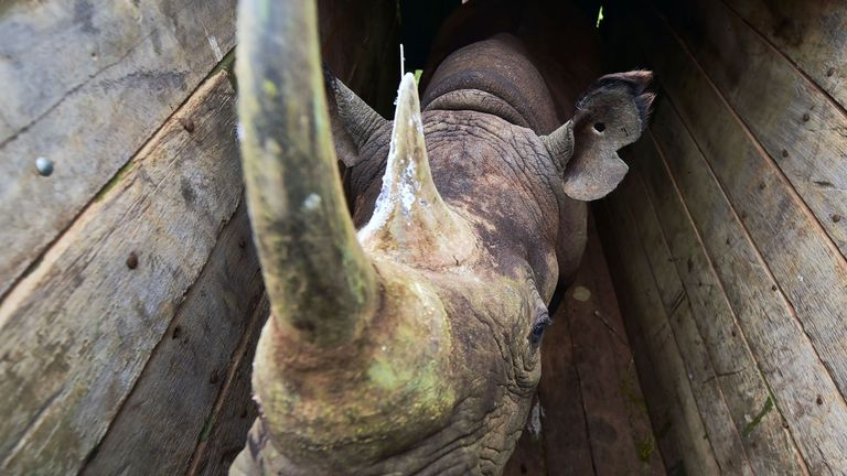 One of the male black rhinoceroses in a crate