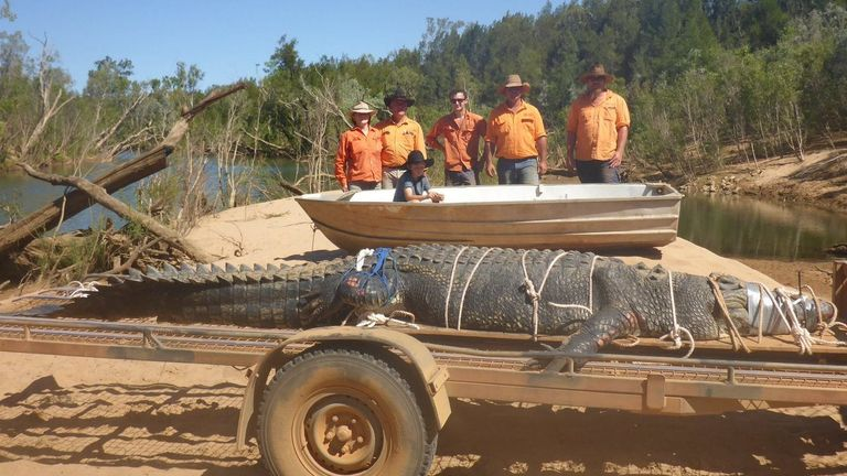 Rangers caught the 4.7m croc in a trap. Pic: Facebook/Northern Territory Parks and Wildlife