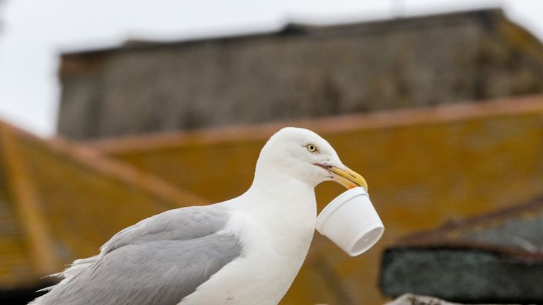 Seagulls are scavenging alcohol on the south coast
