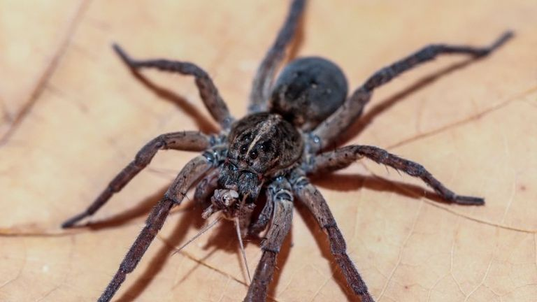 A wolf spider feeds on a cricket in UC's biology lab. Pic: University of Cincinnati