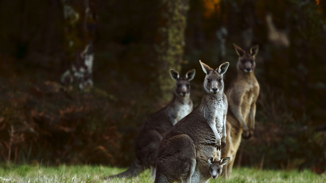 Farmers have been granted relaxed laws to shoot kangaroo