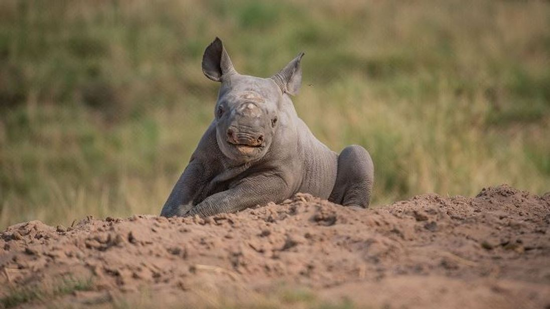 The calf spent about an hour running around and rolling in sand. Pic: Chester Zoo