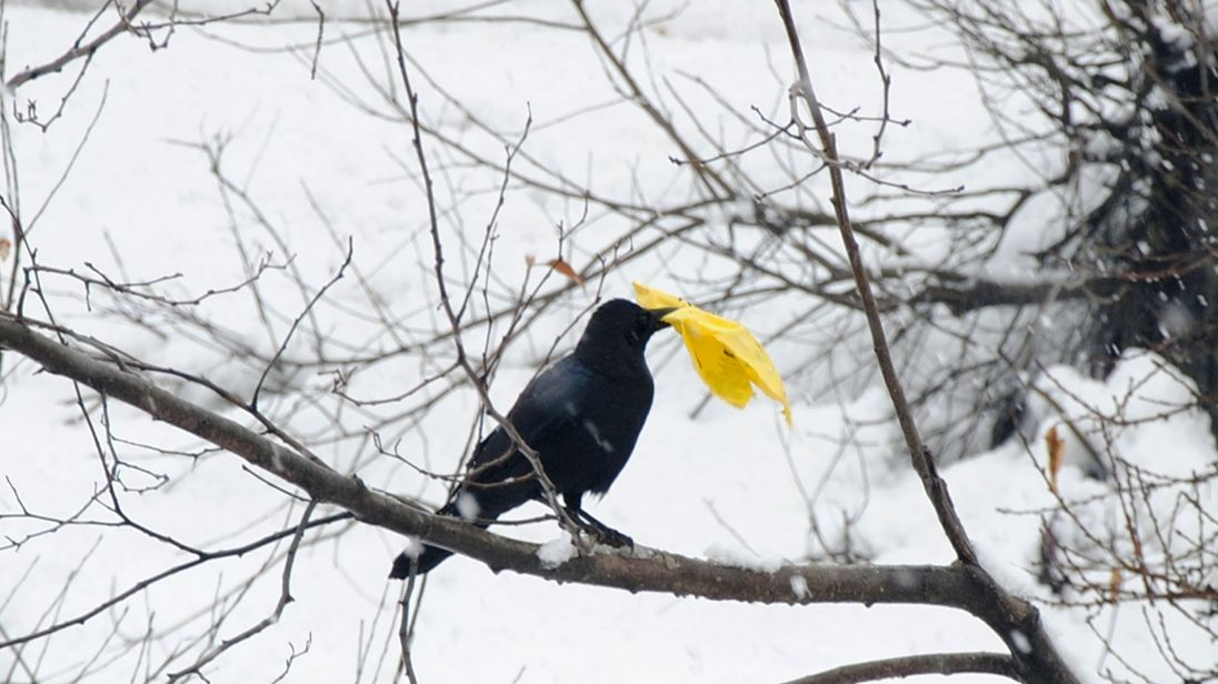 'Intelligent' crows to pick up litter at French theme park