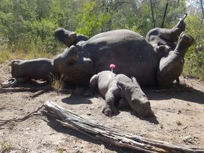 Arthur stayed by the body of his mother until rangers tranquillised him and took him to the sanctuary. Pic: Care for Wild