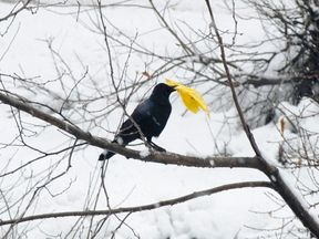 The six 'particularly intelligent' crows are to be put to work from Friday. File pic