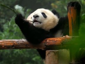 There are 750 wild pandas in China now compared to the 1970s. Pic: CCTV