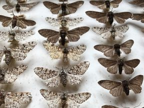 Peppered moth specimens in a museum. Pic: Olivia Walton