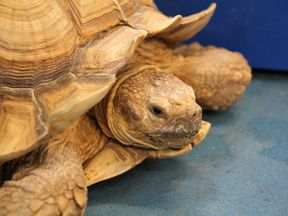The four tortoises are between 11 and 24 years old. Pic: Dorset Police