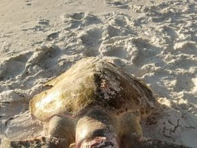 The turtle watch group said she was too badly injured to properly assess a cause of death