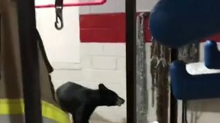 This bear was interested in the work of the Wintergreen Fire Department in Virginia