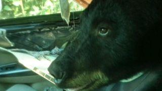 Bear destroys car interior in Colorado