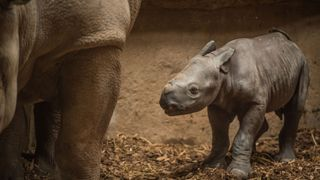 Zoo visitors were astonished as an Eastern black rhino calf was born in front of them. Keepers say just 650 remain in the wild.