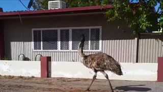 Emu strolls into town amid drought conditions in New South Wales