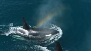 Killer whales are in a sociable mood off coast of California