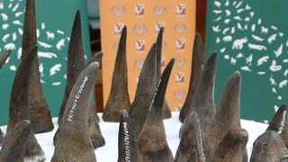 Sizeable haul of smuggled rhino horns seized in Malaysia