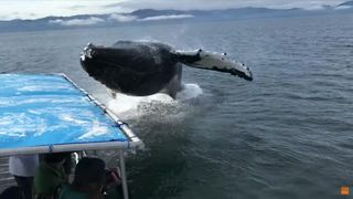 Humpback soaks Alaska whale watchers during close encounter