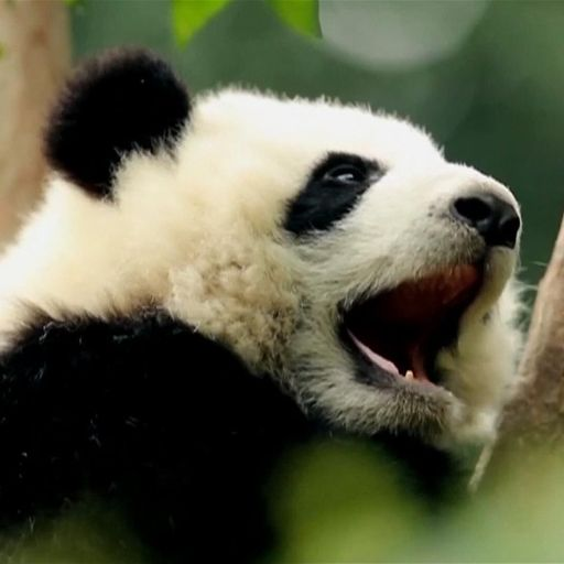 China's wild giant panda population explodes after major effort to protect species